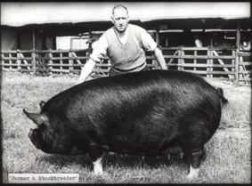 Berkshire sow mid-20C